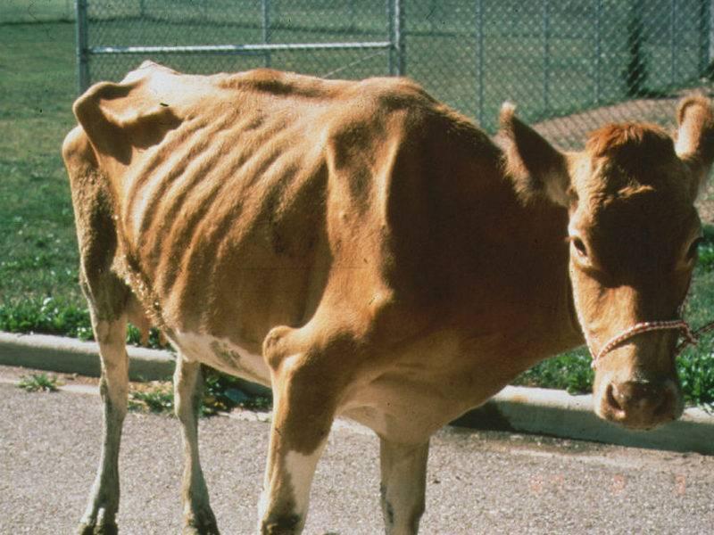 Пастереллёз у коров: описание заболевания, стадии развития, правила лечения