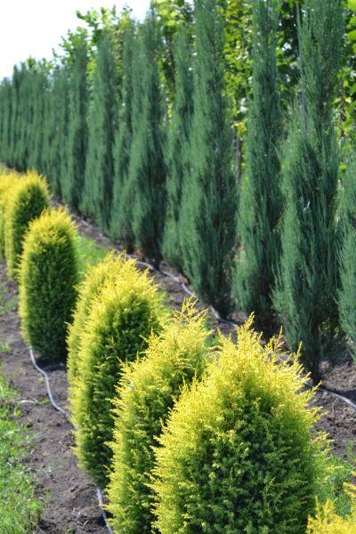 О можжевельнике куривао голд: описание сорта, как посадить и ухаживать