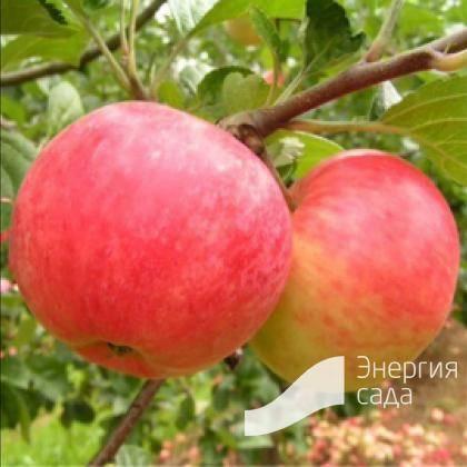 Яблоня Малиновка (Суйслепское): описание, фото, посадка, отзывы
