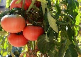 10 частых ошибок при выращивании томатов в теплице и открытом грунте
