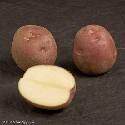 """Картофель """"леди клер"""": описание сорта"""