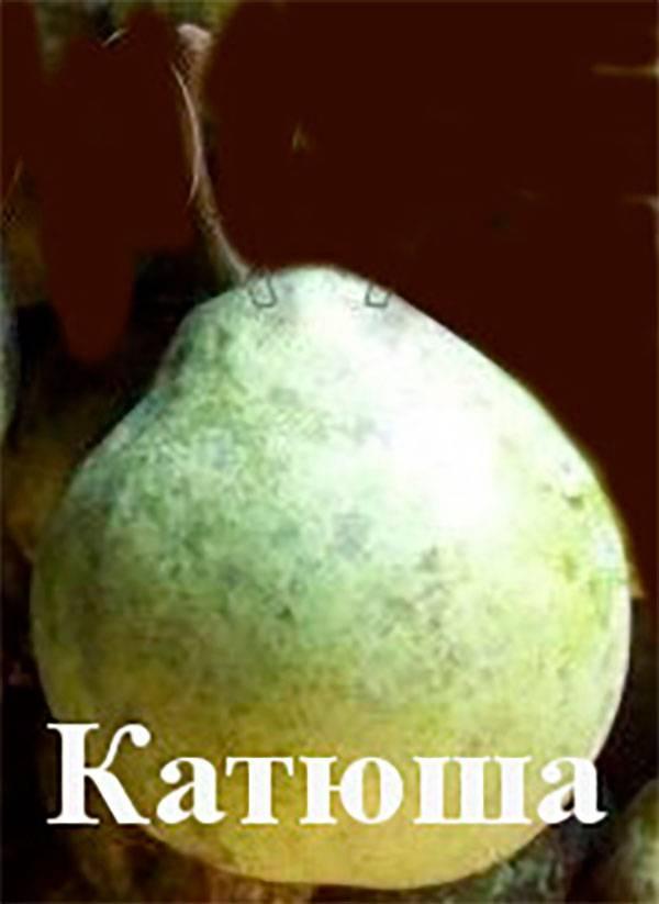 Груша яковлевская — описание сорта, фото, отзывы садоводов