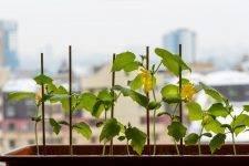 Огурцы для балкона сорта