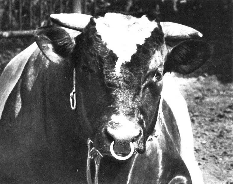 Что будет если корова съест перо