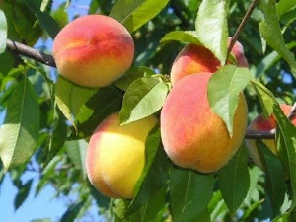 Ранние сорта персика
