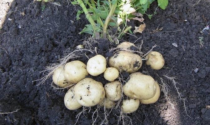 Картофель латона: описание и характеристика, отзывы