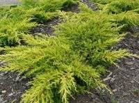 Можжевельник средний глаука (juniperus x pfitzeriana glauca)