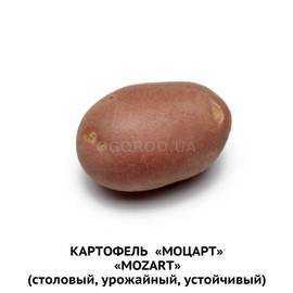 Сорт картофеля «рамона»: характеристика, описание, урожайность, отзывы и фото