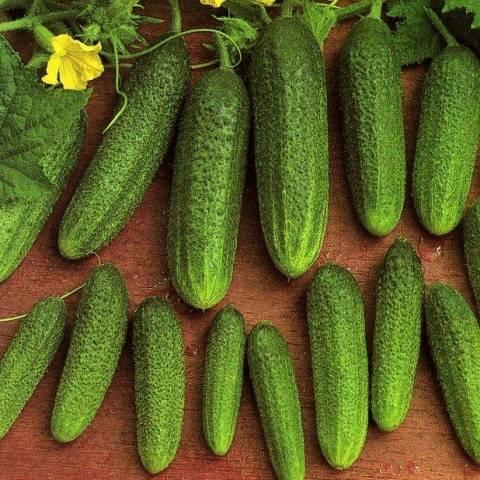 Описание и характеристика сорта огурцов либелла: посадка и уход