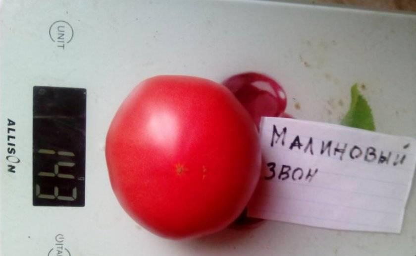 Описание и выращивание томата малиновый звон