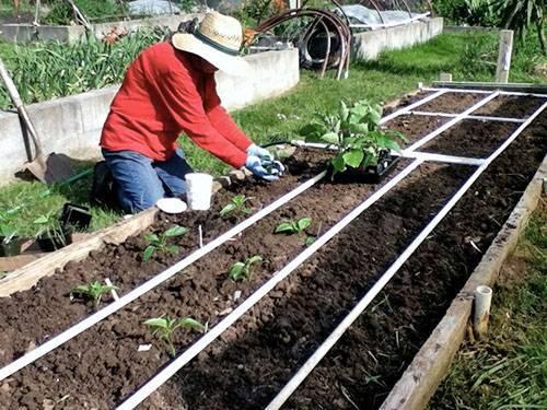 Как вырастить баклажаны в открытом грунте: как правильно сажать