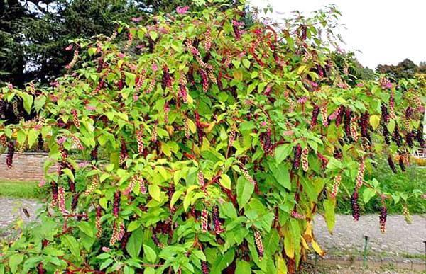 Лаконос растение: лечебные свойства и лекарственное применение