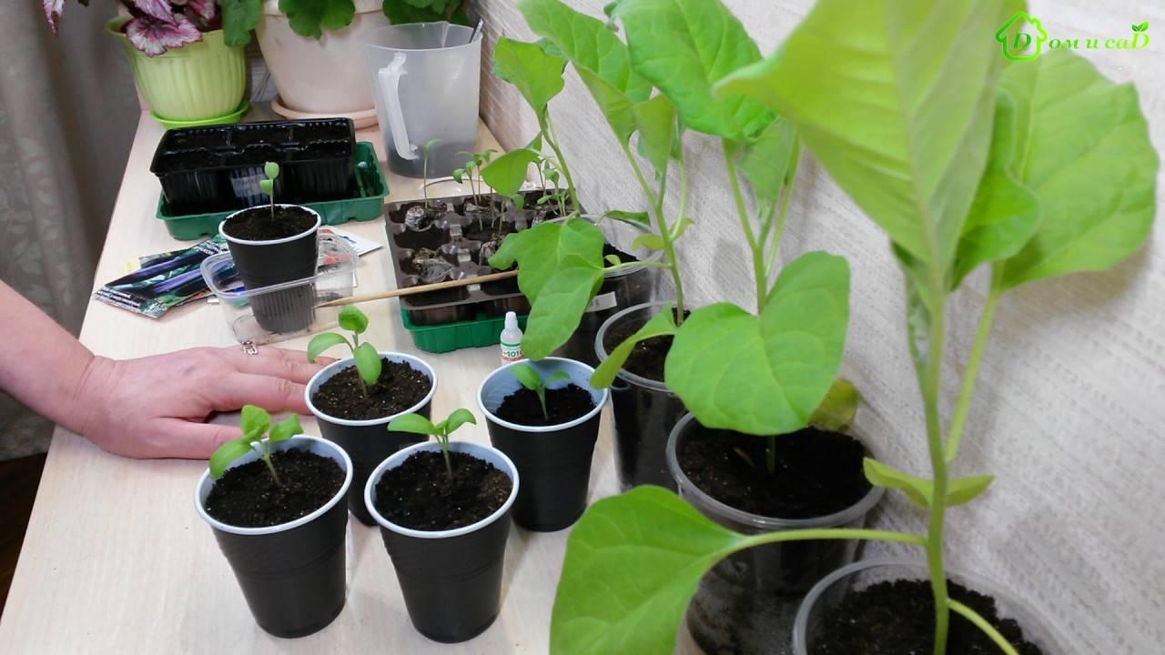 Выращивание рассады баклажан в домашних условиях - секреты выращивания