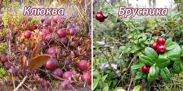 Как отличить клюкву от брусники — ягоды грибы
