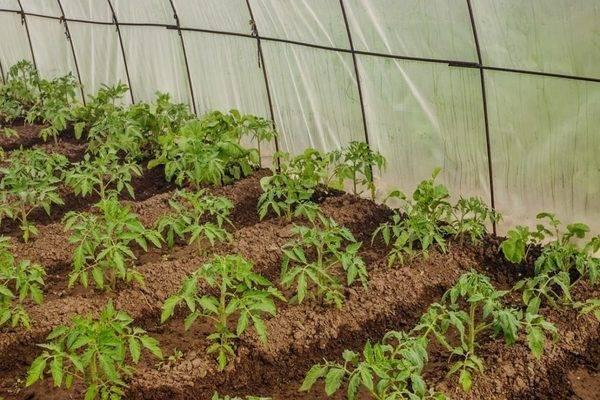 Как проводится подкормка томатов в теплице?