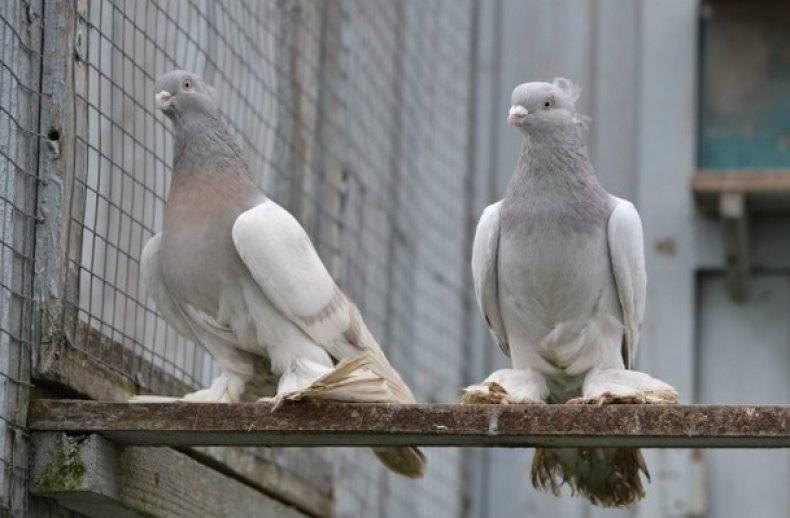 Узбекские лохмоногие | породы домашних голубей | все о голубях | литература / наша-природа.рф