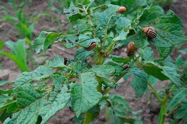 Народные средства от жуков с уксусом