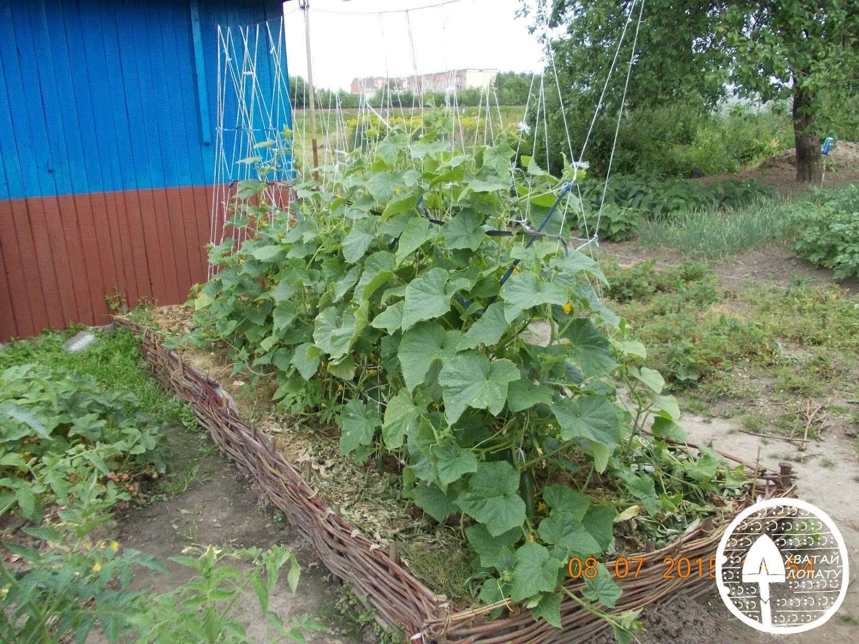 Сорта огурцов для ленинградской области для теплиц