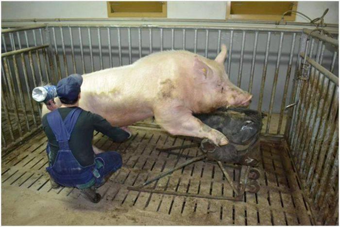 Кастрация поросят (свиней) своими руками