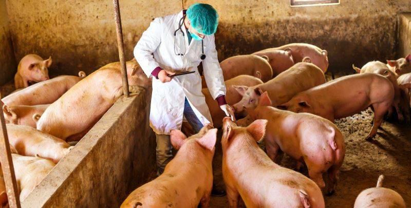 Тонкости развития и лечения пастереллеза у свиней