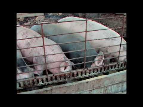Как правильно опалить свинью: пошаговое описание процесса, самые простые способы