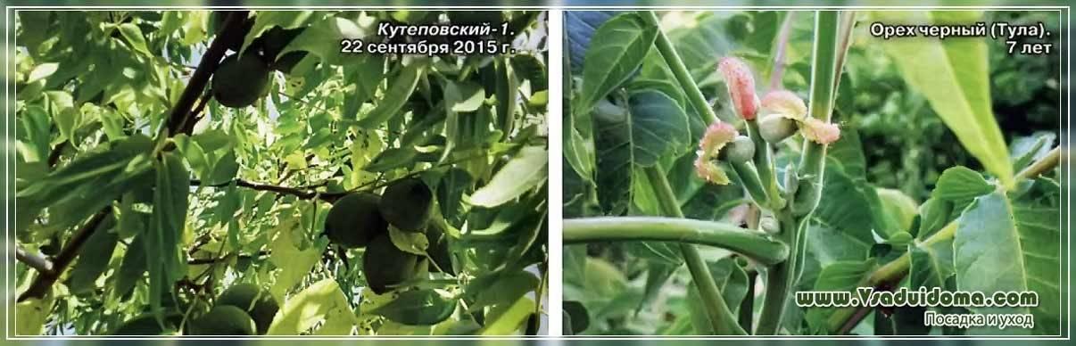 Выбор сорта и выращивание грецкого ореха в подмосковье