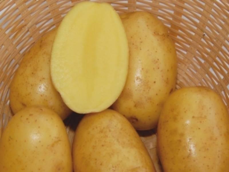 Картофель мерлот описание сорта фото отзывы