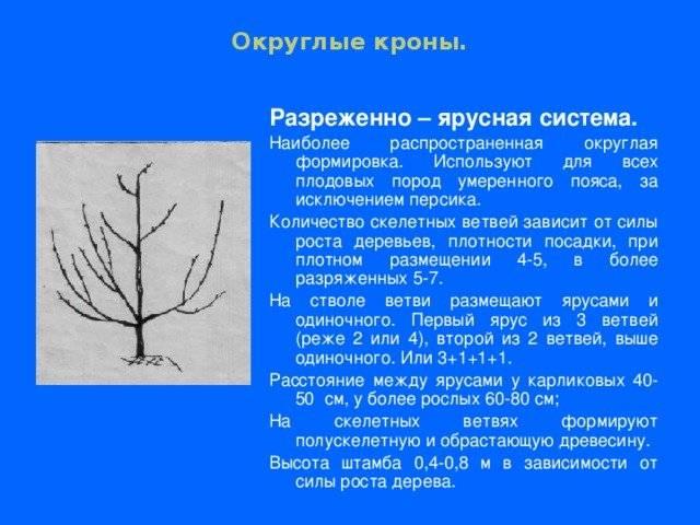 Выращивание черешни кордия