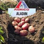 Характеристика и описание картофеля алладин