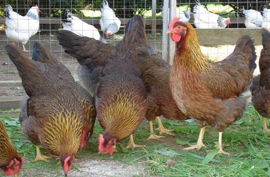 Род айленд порода кур – описание п 11, фото и видео