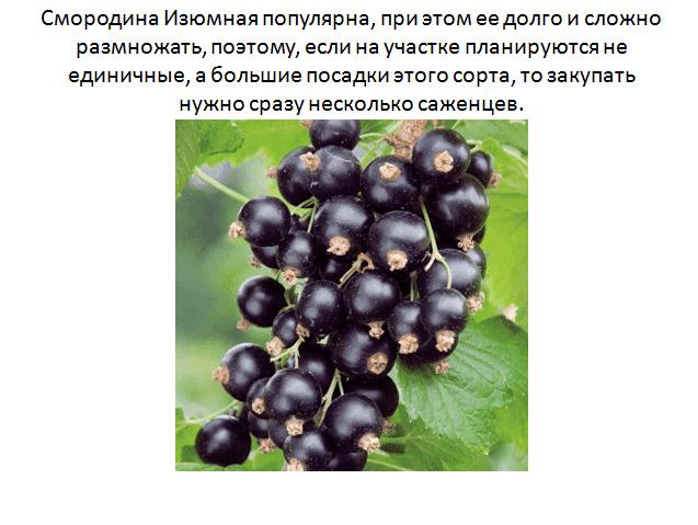 Сорт чёрной смородины лама: урожайность, вкусовые качества