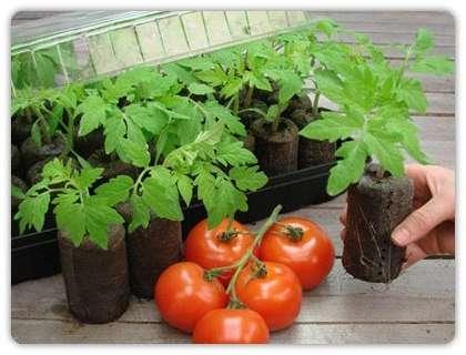 Как подкармливать рассаду помидоров в домашних условиях