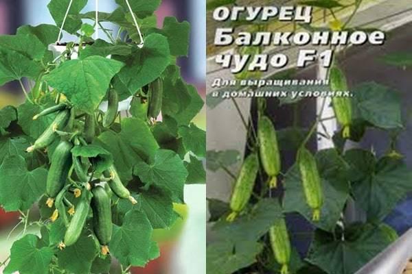 Секреты выращивания огурцов балконное чудо