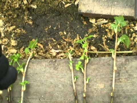 Посадка смородины осенью черенками, отводками и саженцами