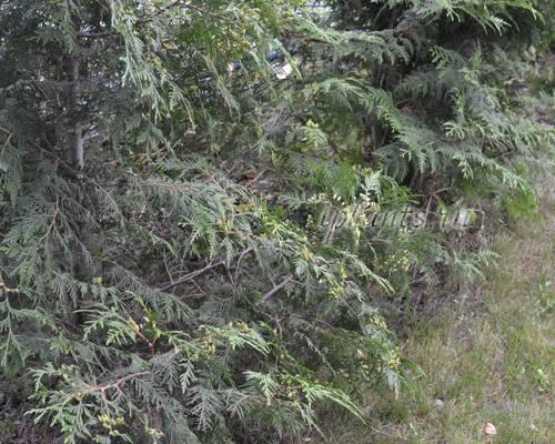 Тонкости посадки туи в сибири и рекомендации по уходу
