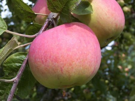 Лучшие сорта яблонь для беларуси