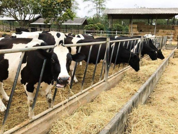 Черно пестрая молочная порода коров: описание, кормление и уход, основные достоинства и недостатки - общая информация - 2020