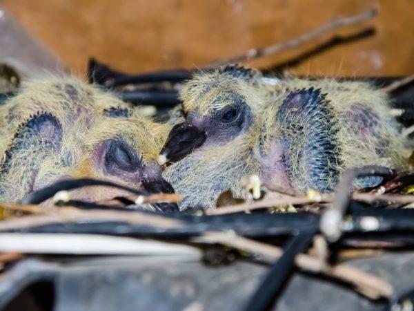 Как выглядит птенец голубя? — 4 лапки
