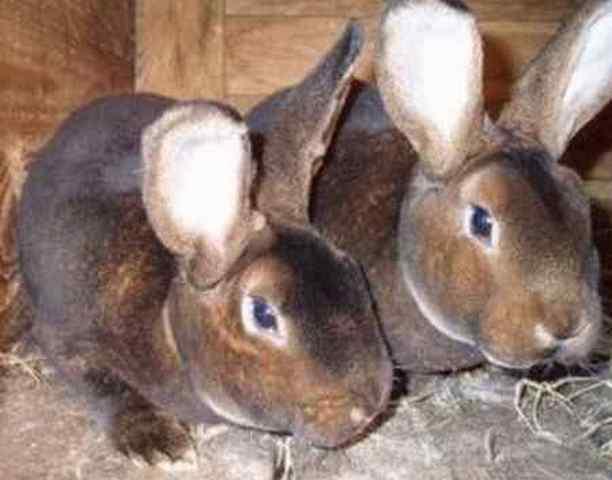 Очаровательный кролик рекс: разведение, содержание и отзывы