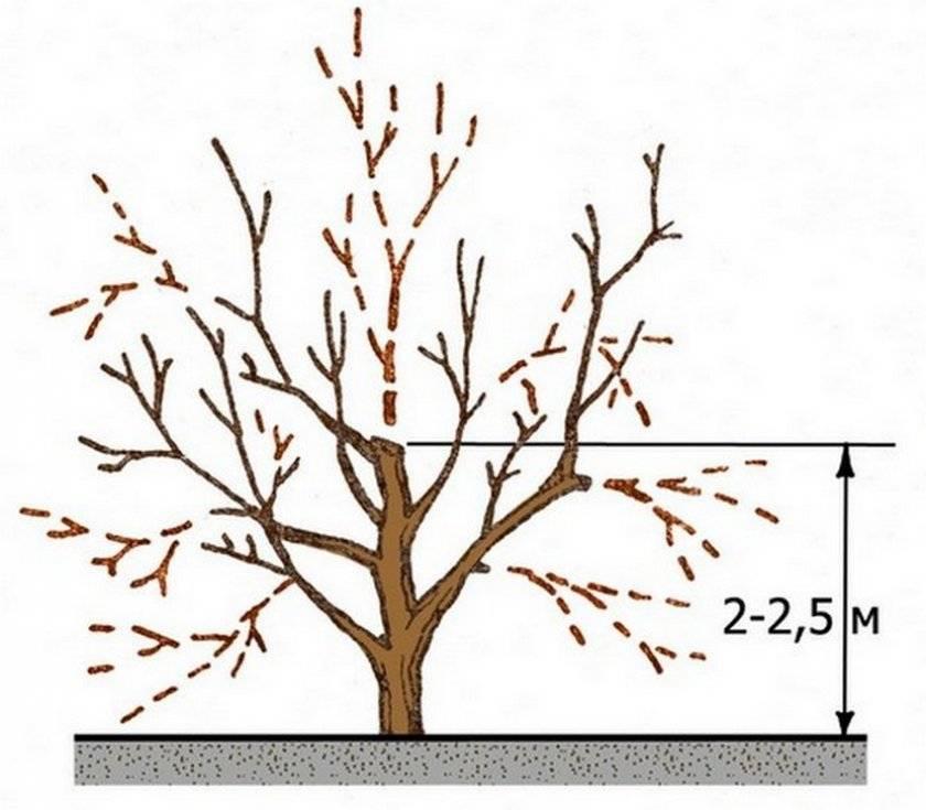 Обрезка абрикоса: схемы, виды и сроки обрезки для начинающих. советы, преимущества и недостатки обрезки абрикоса (105 фото)