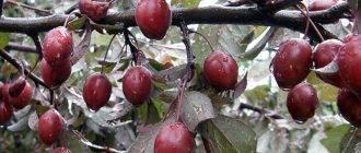 Особенности выращивания и ботаническое описание сливы цистена