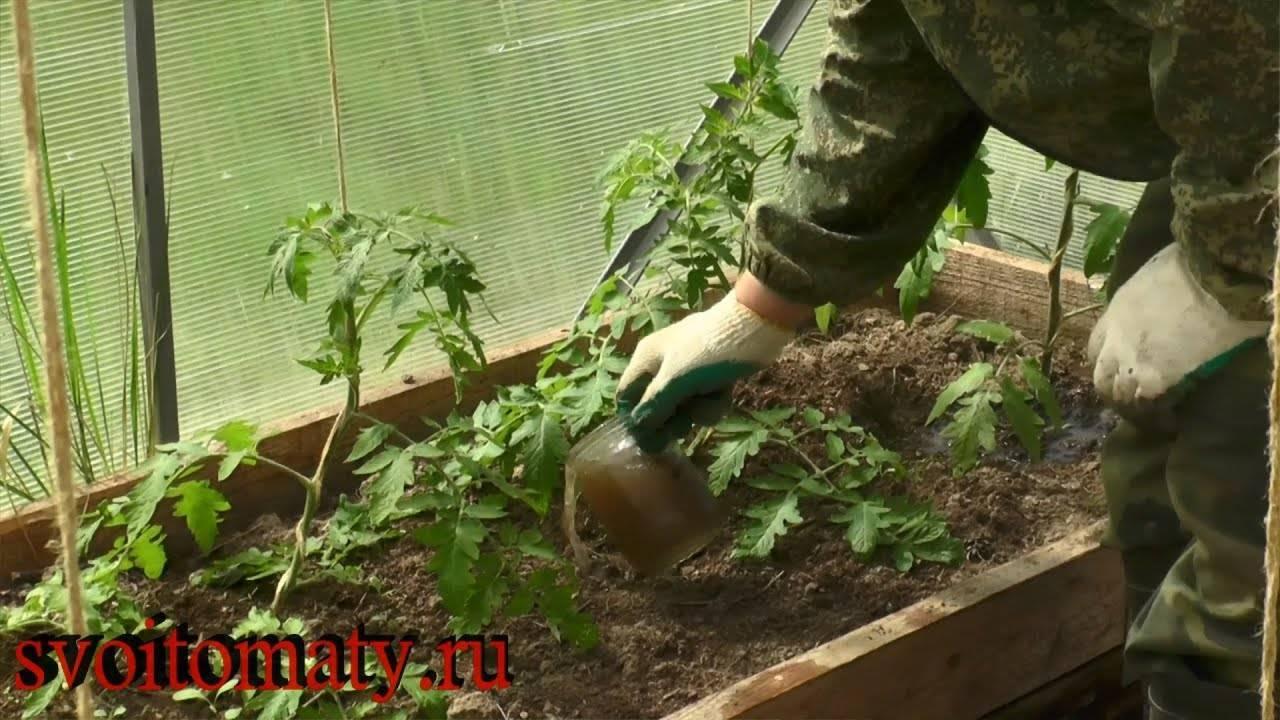 Чем подкормить помидоры после высадки в грунт