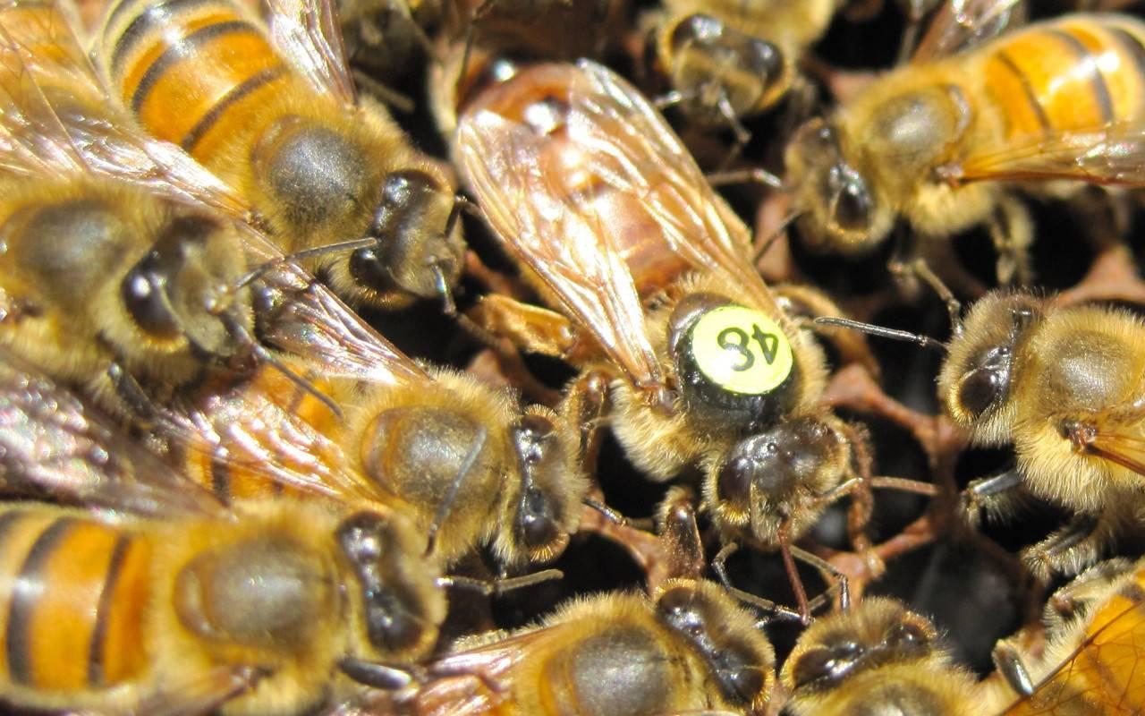 Бакфаст: порода пчел, матка, фото, недостатки, особенности содержания, отзывы
