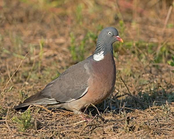 Лесной голубь вяхирь — описание птицы