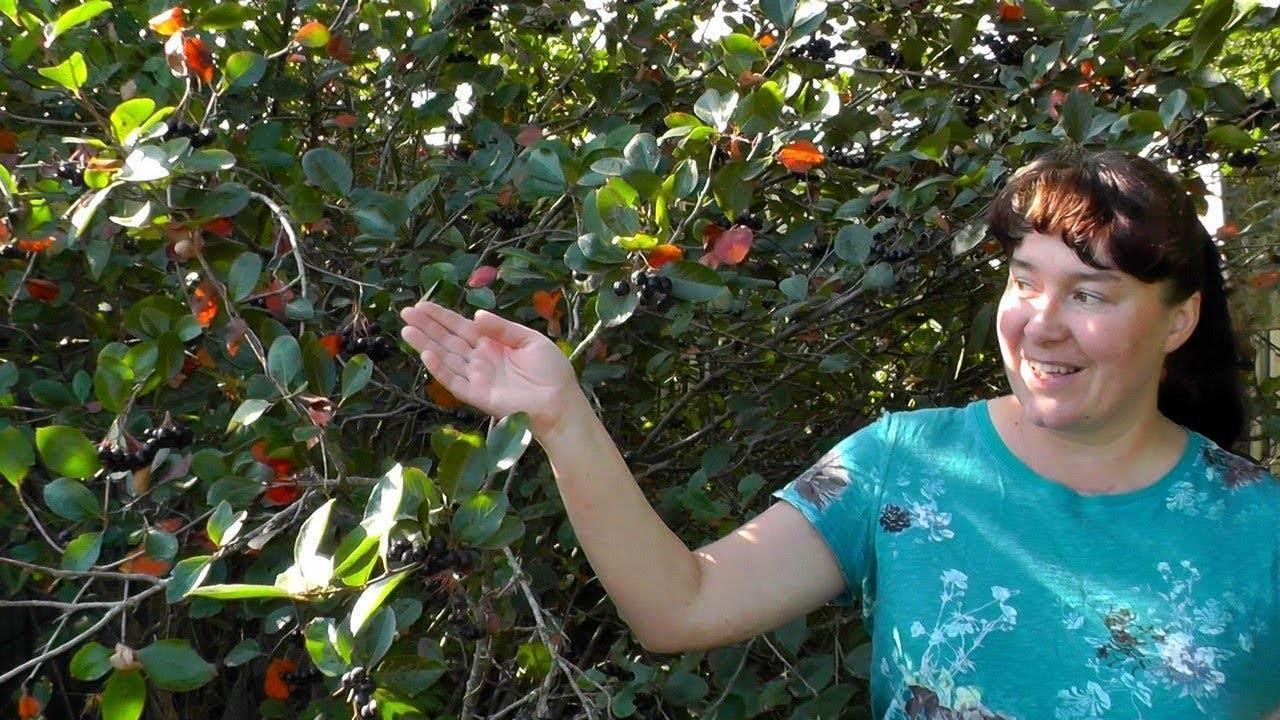 Черноплодная рябина - полезные и опасные свойства черноплодной рябины