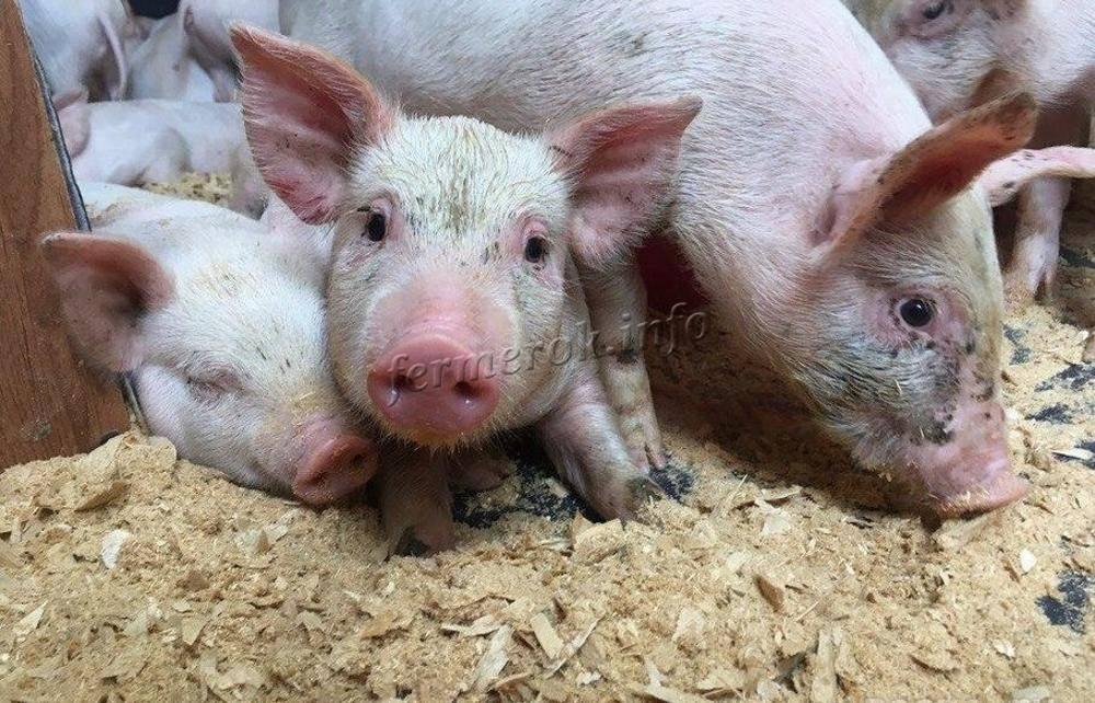 Опорос свиней: подготовка к опоросу, опорос, уход за свиньей и поросятами после опороса
