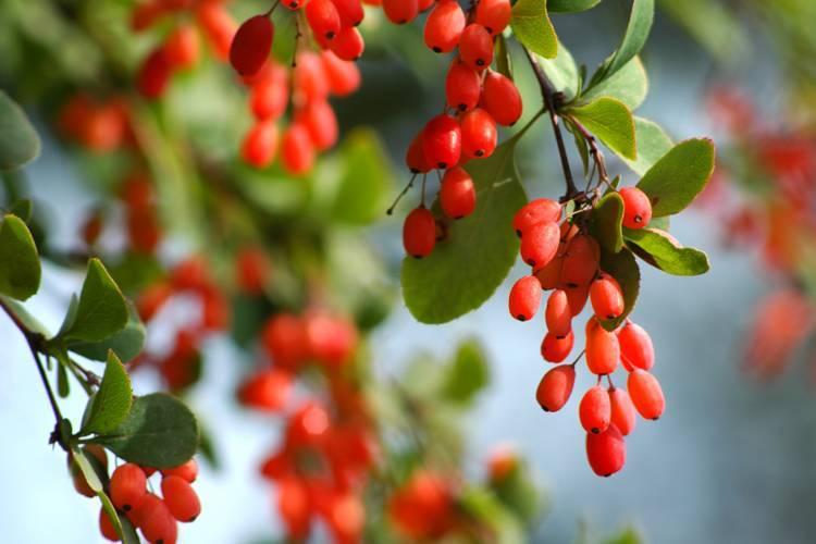Барбарис - полезные и опасные свойства барбариса