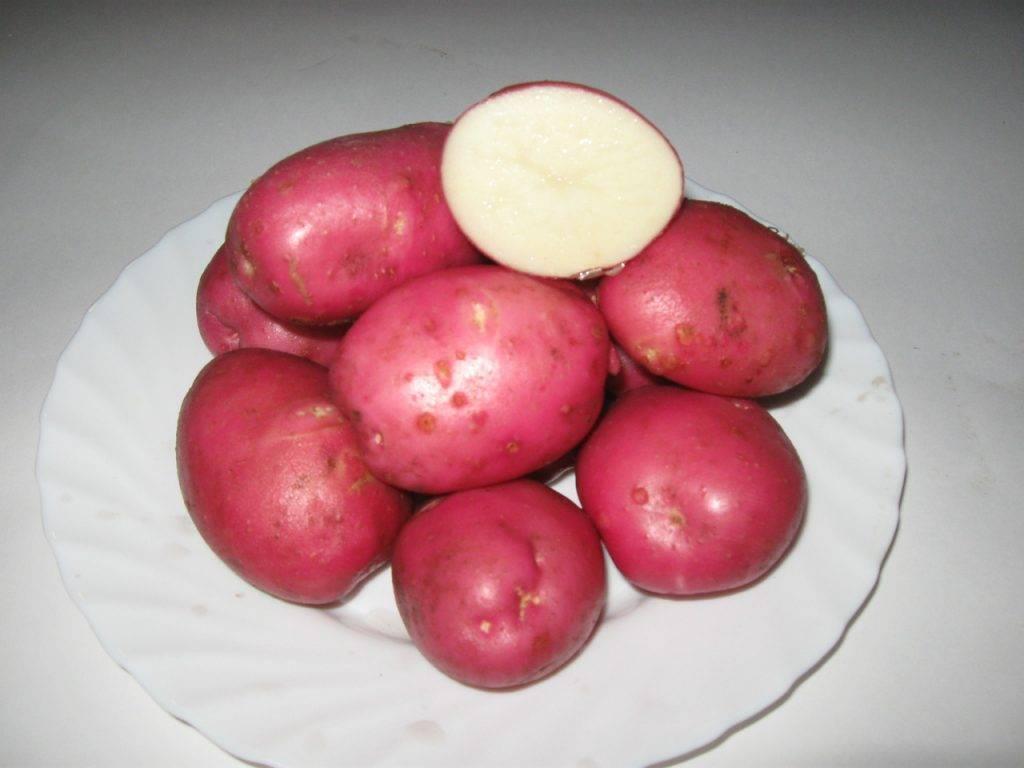 Краснощекий картофель любава. от описания до отзывов