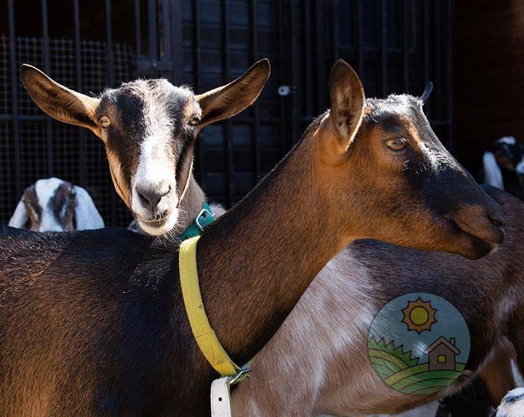 Альпийские козы (36 фото): описание и общая характеристика породы. сколько она дает молока? допустимые отклонения в окрасе козлят