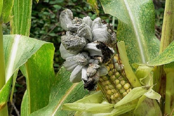 Болезни и вредители кукурузы